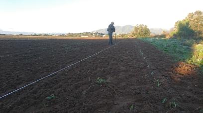 la plantation, au cordeau