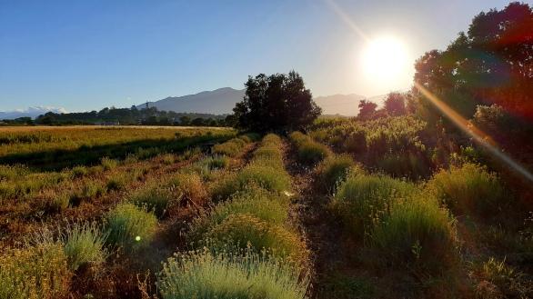 CORSICA Coucher de soleil sur la cueillette